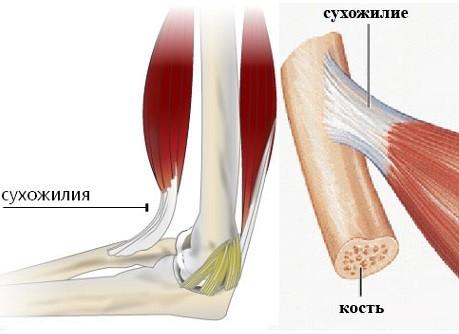 Как мышцы, кости и сухожилия связаны между собой?